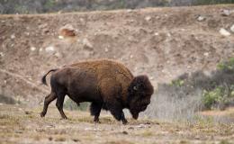 10-buffalo